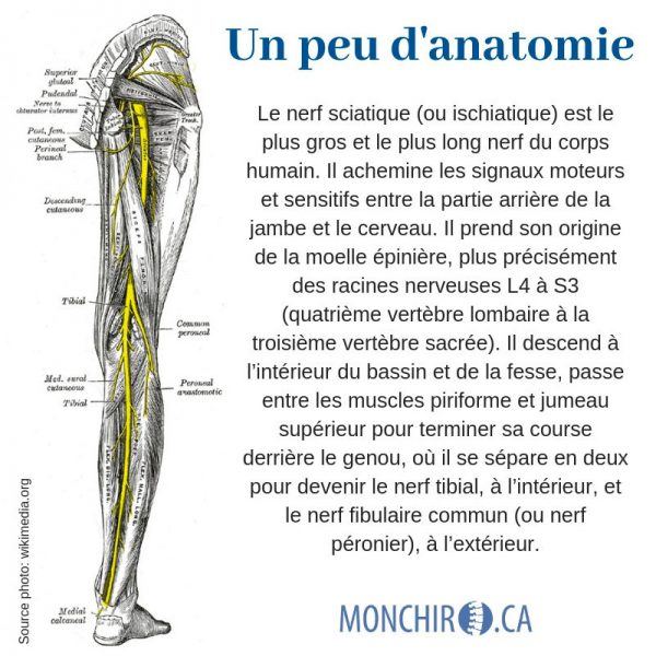 monchiro-nerf-sciatique-anatomie-sciatique